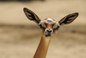 sourire de gazelle